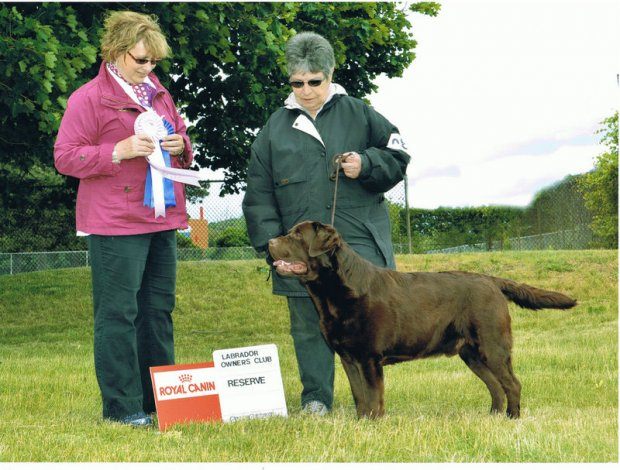 Digger at the Lab Specialty dog show