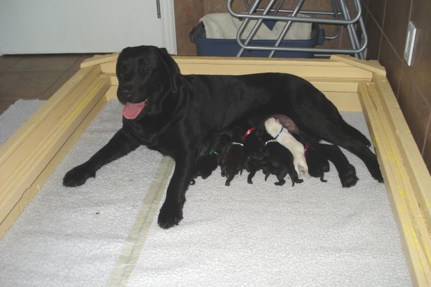Storm seems to be a natural mom, cleaning and nursing her pups.