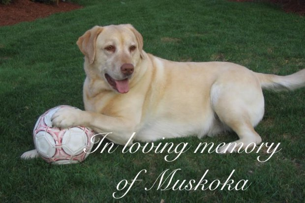 Our beloved Muskoka (Cedarow's Manhattan Magic) was born on Oct 23, 2002 and passed away on Aug.17, 2016. I remember how she was the smallest of the litter always sitting in a corner of your house.