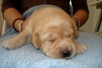 Green ribbon yellow male 15 days old